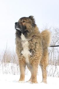 Кавказская овчарка - смелость и преданность